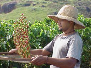 granos de café, trabajador, hombre, plantación