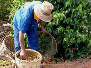 impacto ambiental del café disminuido con café sostenible