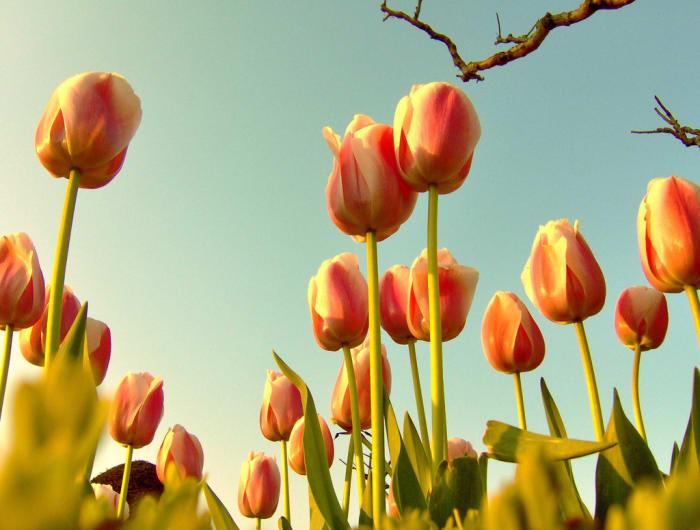 Crocus son las primeras flores de primavera.