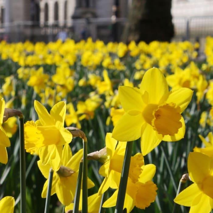 Los narcisos son flores de primavera comunes.