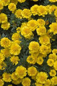 Caléndulas de flores comestibles