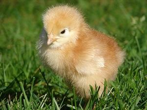 evitar la comida de las granjas industriales para los animales felices