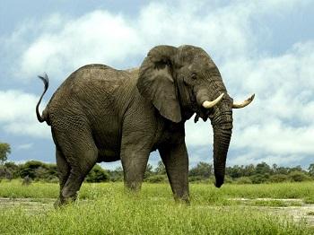 elefante: los biólogos pueden tener trabajos ecológicos