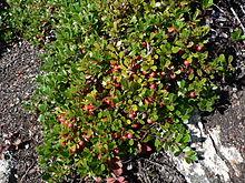 Remedio casero de uva-ursi para cálculos renales
