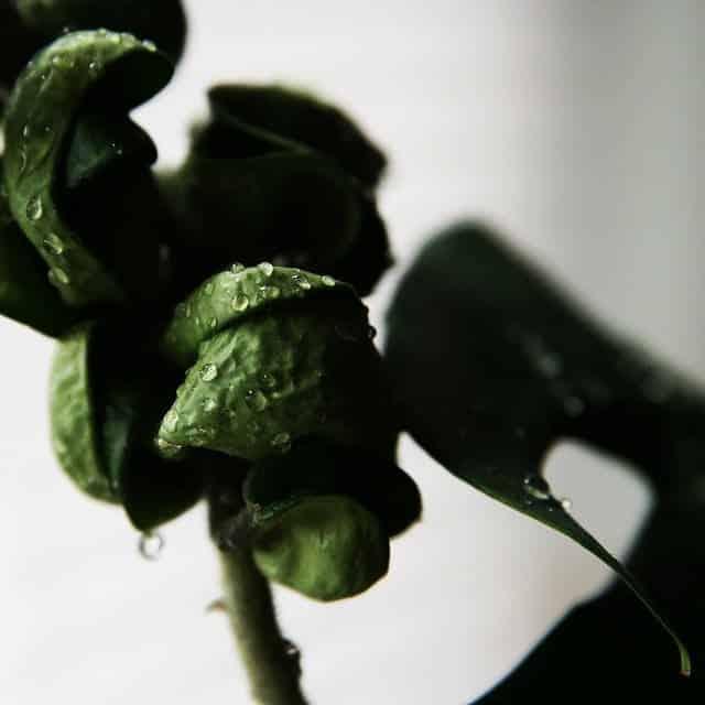 Hoya: Hermosas plantas de interior