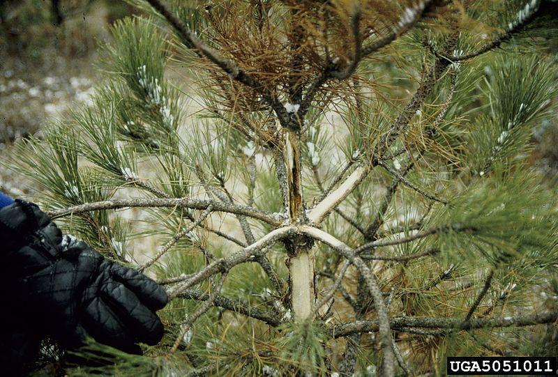 plaga de agujas de pino