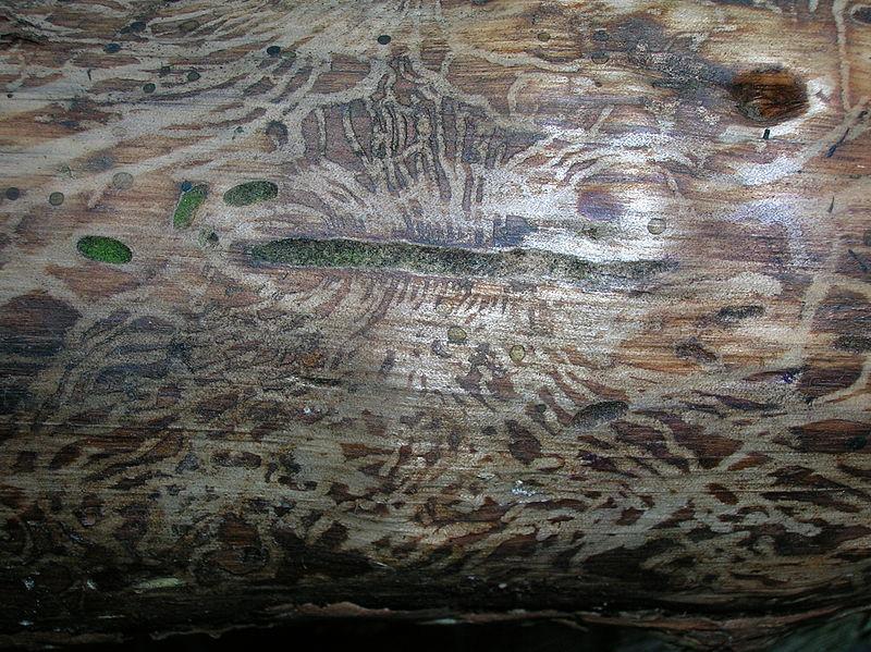 laberintos de larvas de escarabajo de la corteza