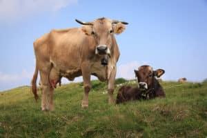 vaca en pasto