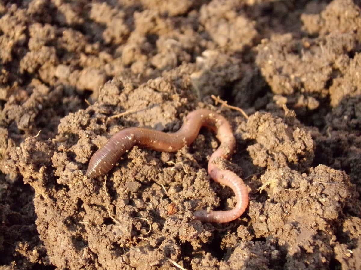 Soluciones para el desperdicio de alimentos: cría de lombrices de tierra
